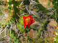 Blooming cactus in urubamba valley peru Stock Image