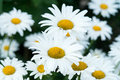 Blooming camomile beautiful daisy flower in the garden background Stock Photo