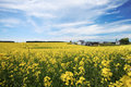 Blooming canola field Royalty Free Stock Photo