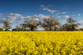 Blooming canola fields and apple trees Royalty Free Stock Photo