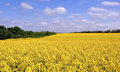 Blooming canola fields Royalty Free Stock Photo