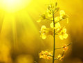 Blooming canola flowers closeup Royalty Free Stock Photo