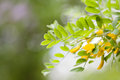 Blooming Caragana Arborescens, Siberian peashrub pea-tree. Acacia tree branch with green leaves and yellow flowers Royalty Free Stock Photo