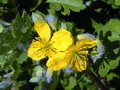 Blooming celandine herbal in spring Royalty Free Stock Photos