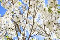Blooming cherry blossom branches against sky Stock Images