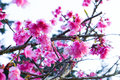 Blooming cherry blossom japanese sakura beautiful branches in winter angkhang mountain chiang mai thailand Stock Image
