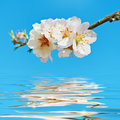 Blooming cherry plum blossoming against the blue sky Stock Photo
