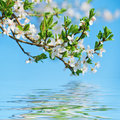 Blooming cherry plum blossoming against the blue sky Stock Photography