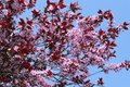 Blooming cherry sakura on the background of the blue sky Royalty Free Stock Images