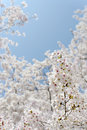 Blooming cherry tree branches of on the blue sky Royalty Free Stock Photos