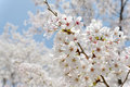 Blooming cherry tree branches of on the blue sky Stock Photography