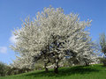 Blooming Cherry Tree in Spring Time Royalty Free Stock Photo