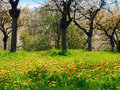Blooming cherry trees and dandelions