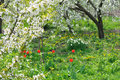 Blooming cherry trees focus on foreground in the springtime Royalty Free Stock Photo