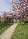 Blooming cherry trees in a park Royalty Free Stock Photos