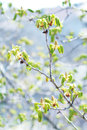Blooming chestnut tree the image shows a Royalty Free Stock Photos