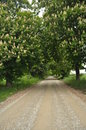 Blooming chestnut trees along the gravel road early spring white flowers Stock Photography