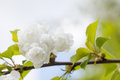 Blooming chinese apple branch with white flowers and green leaves. crabapple tree, Malus prunifolia fruit tree closeup Royalty Free Stock Photo