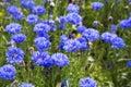 Blooming Cornflowers (Centaure...