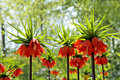 Blooming crown imperial Royalty Free Stock Photos