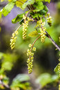 Blooming current plant in garden, spring time. Royalty Free Stock Photo