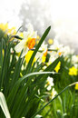 Blooming daffodils in spring park Royalty Free Stock Images