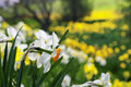 Blooming daffodils in spring park Royalty Free Stock Photography