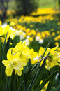 Blooming daffodils in spring park Stock Photo