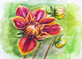 Blooming dahlia flower watercolor painting Stock Image