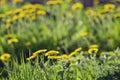 Blooming dandelion flowers