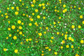 Blooming dandelion flowers and green grass Royalty Free Stock Photo