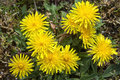 Blooming dandelions close up of yellow taraxacum officinale in full bloom Stock Photography