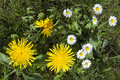 Blooming dandelions and daisies close up of yellow taraxacum officinale white bellis perennis this means eternal beauty or Stock Images