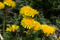 Blooming dandelions group of taraxacum officinale common Royalty Free Stock Photos