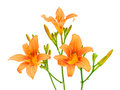 Blooming day-lily on a white background Stock Images