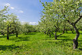 Blooming of decorative white apple trees Royalty Free Stock Photo