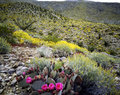 Blooming desert anza borego california Stock Image