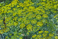 Blooming dill background of green the quality of medium format Royalty Free Stock Images