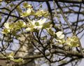 Blooming dogwood flowers in spring time Royalty Free Stock Photo
