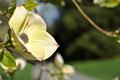 Blooming dogwood Royalty Free Stock Photo