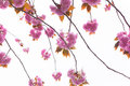 Blooming double cherry blossom branches Royalty Free Stock Images