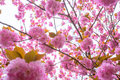 Blooming double cherry blossom branches Stock Photo