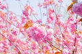 Blooming double cherry blossom branches and blue sky Royalty Free Stock Image
