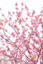 Blooming double cherry blossom branches and blue sky Stock Images