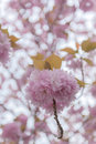 Blooming double cherry blossom branches close up Stock Images