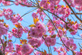 Blooming double cherry blossom branches and sun shine Royalty Free Stock Image