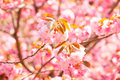 Blooming double cherry blossom japan Royalty Free Stock Photos