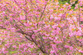 Blooming double cherry blossom tree Stock Photography