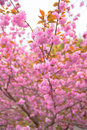 Blooming double cherry blossoms japan Royalty Free Stock Photography