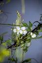 Blooming duck potato a sagittaria latifolia Royalty Free Stock Photography